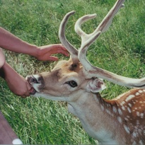 Fallow deer eating from the side of the covered wagon.  Too bad we don't have that friendly little critter anymore.