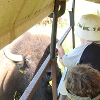 Tourist feeding buffalo cow from side of covered wagon.