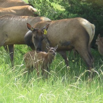 Cow elk tending to her new spring calf.