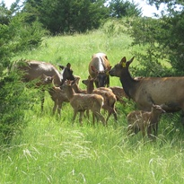 Cow elk watching over a group of elk calves. They are great babysitters.