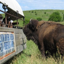 Cow buffalo approaching covered wagon ready for her treat from tourists.