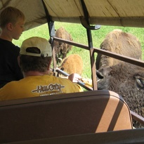 Buffalo getting treats of ear corn from tourists on the covered wagon.