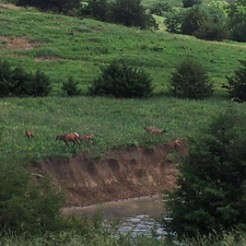 Elk cows and calves coming out of the water.