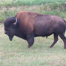 Large Bison Bull in Bison Cow Herd