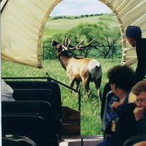 Bull elk bugling at the back end of the covered wagon.
