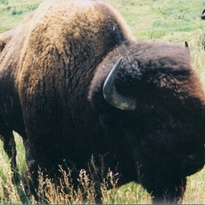 Big buffalo bull in pasture, weighing approximately 2000 pounds.